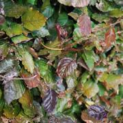 fagus-sylvaticar-atropurpurea