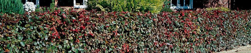 haagplanten-kopen