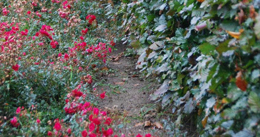Rode beuk en andere cultivars